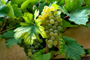 wine_grapes_grape